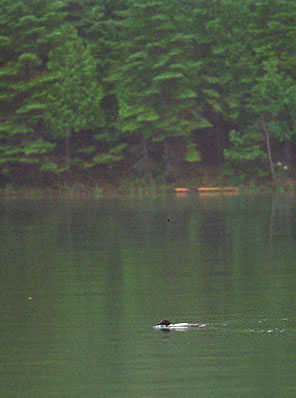 [Photo: Loon fishing]